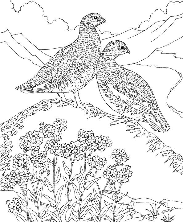 Alaska willow ptarmigan coloring page purple kitty for Alaska coloring pages