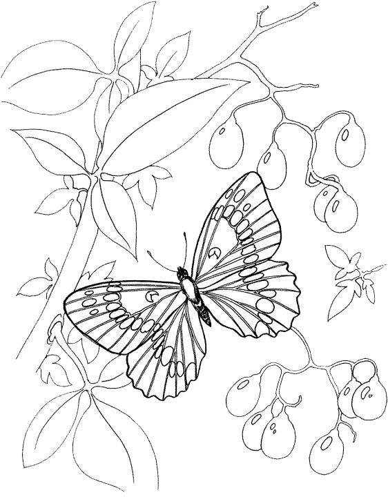 Blue Morpho Butterfly Page Coloring Pages