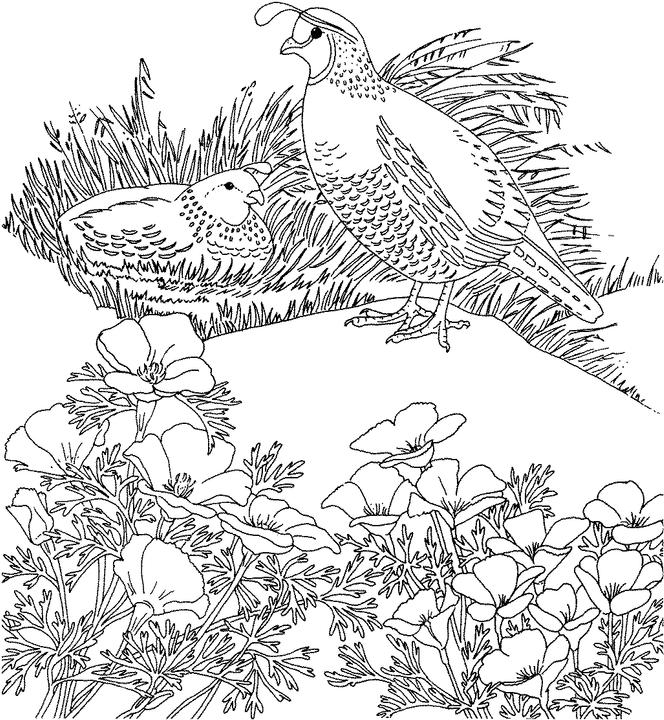 California Valley Quail Coloring Page Purple Kitty