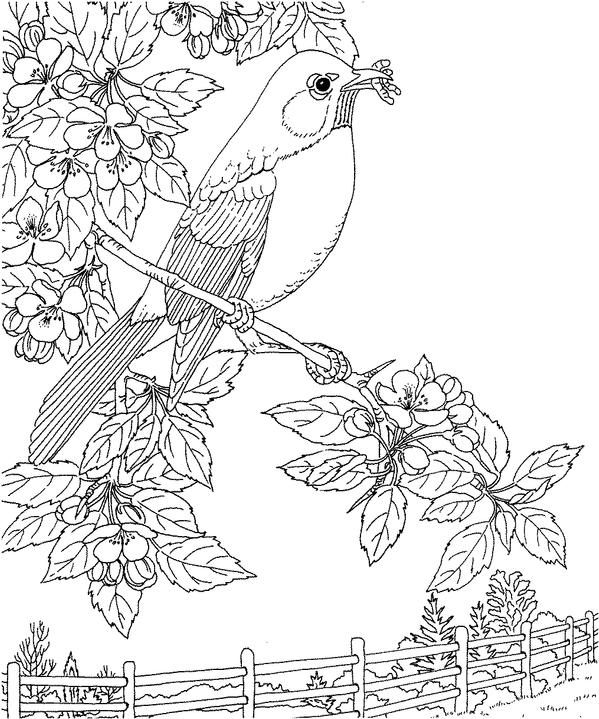 Robin bird coloring pages for kids ~ Michigan Robin Coloring Page | Purple Kitty