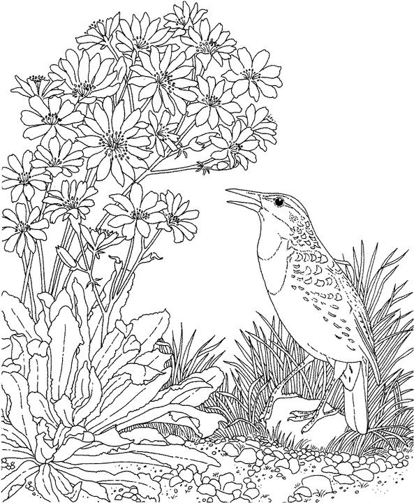 Montana Western Meadowlark Coloring Page Purple Kitty