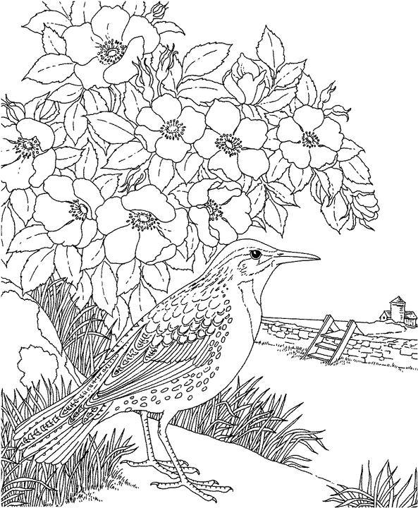North dakota western meadowlark coloring page purple kitty for Meadowlark coloring page