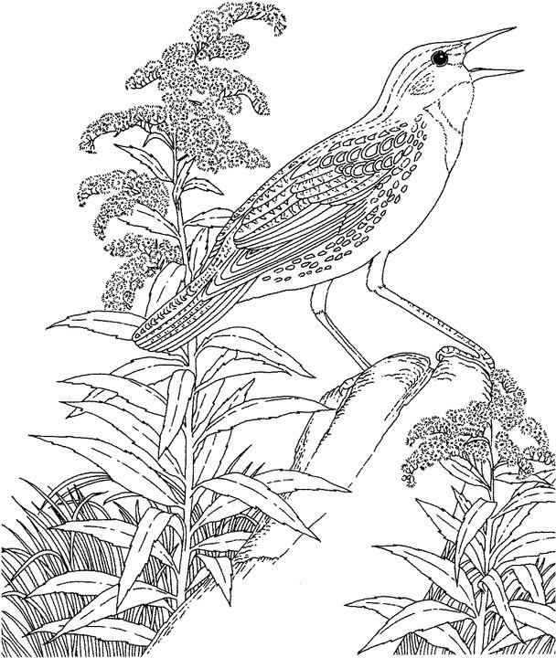 Hard coloring pages of birds ~ Nebraska Western Meadowlark Coloring Page | Purple Kitty