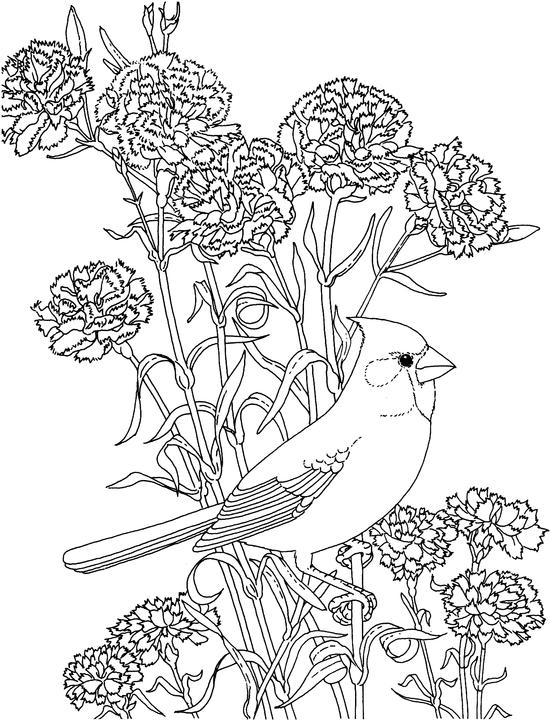 cardinal coloring pages - ohio cardinal coloring page purple kitty