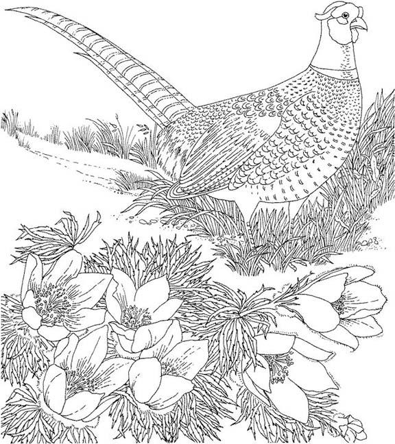 South Dakota Ring Necked Pheasant Coloring Page